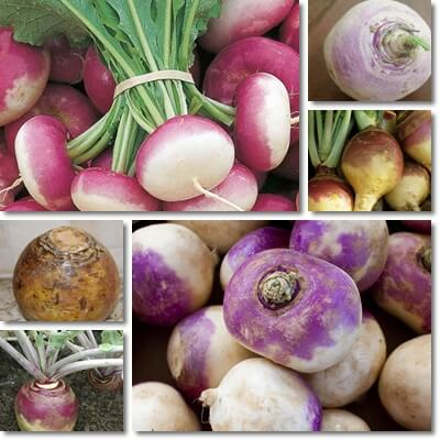 Difference between Turnip and Rutabaga