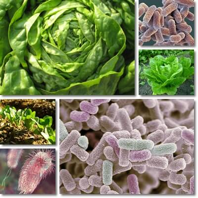 Lettuce and E. coli