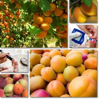 Apricots and blood sugar