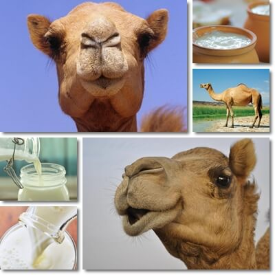 12 Proven Benefits of Camel Milk