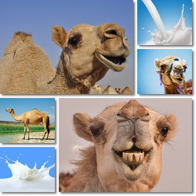 Camel milk nutrition