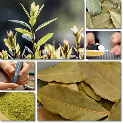 Bay leaf diabetes benefits