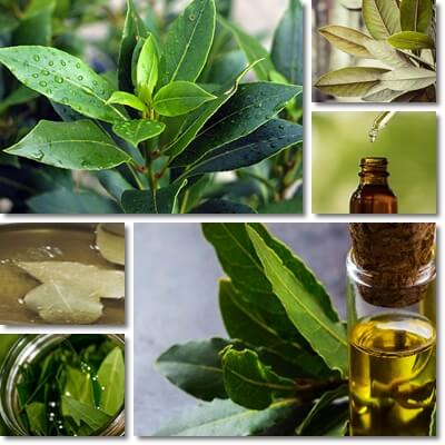 Bay leaf oil benefits