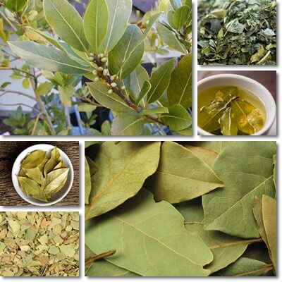 Bay leaf tea benefits