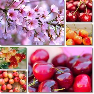 The Glycemic Index of Cherries