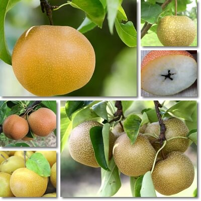 Korean pear benefits