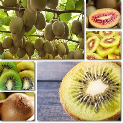 Kiwifruit Glycemic Index and Load