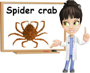 European spider crab