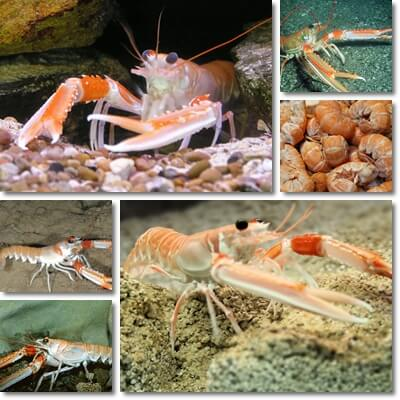 Properties and Benefits of Langoustine (Scampi)