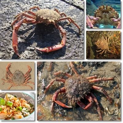 Properties and Benefits of European Spider Crab
