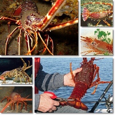 Properties and Benefits of Spiny Lobster