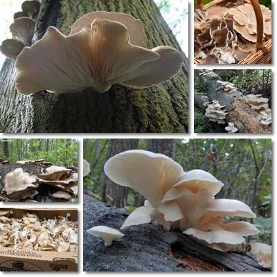 Properties and Benefits of Oyster Mushrooms