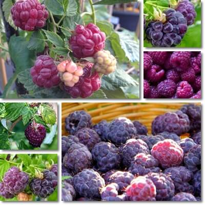 Purple raspberries