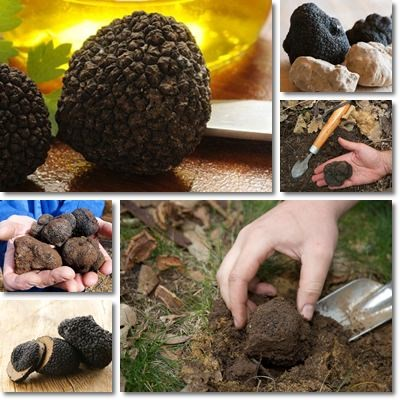 Properties and Benefits of Truffles