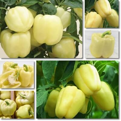 White sweet bell peppers
