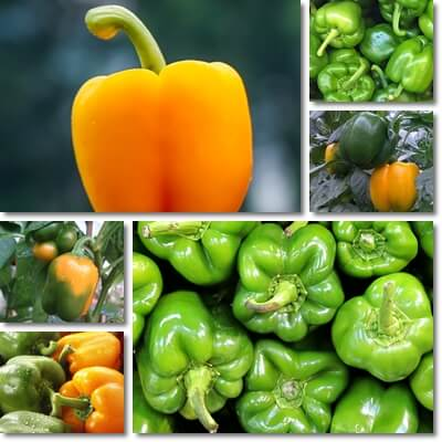 Green vs yellow bell peppers