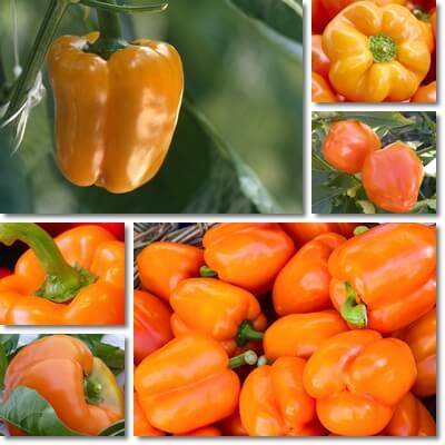 Orange sweet bell pepper