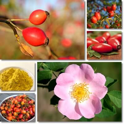 Rose hip health benefits