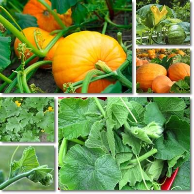 Pumpkin leaves benefits