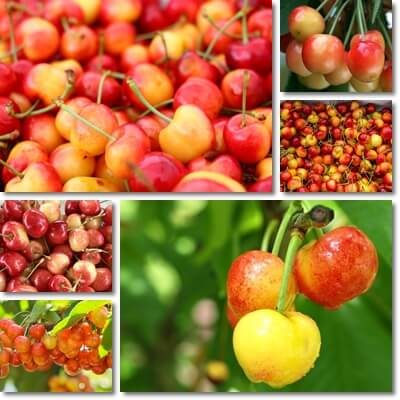 Rainier cherries benefits