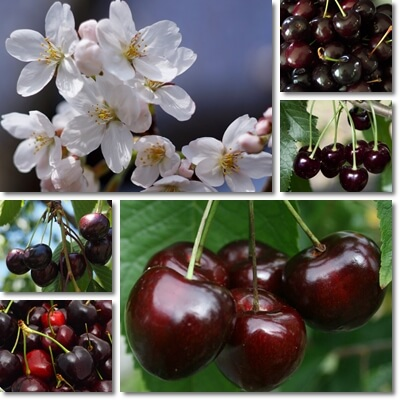 Black cherries benefits