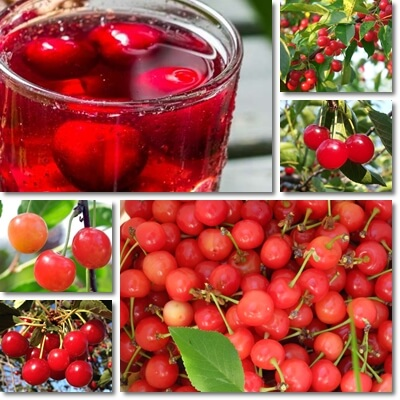Montmorency tart cherry juice benefits