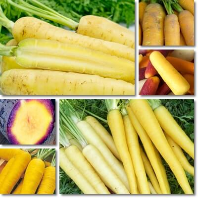 What is a yellow carrot