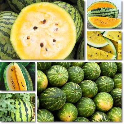 What is yellow watermelon