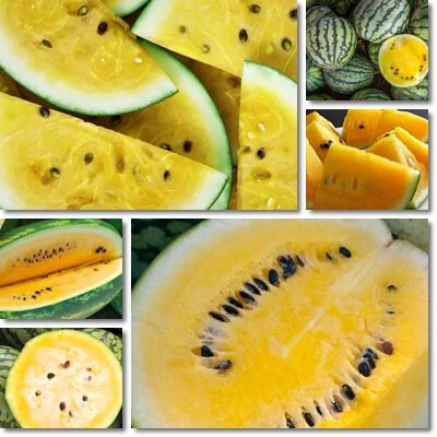 Why are yellow watermelons yellow