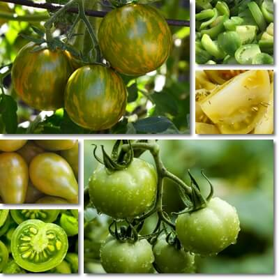 What is a green tomato