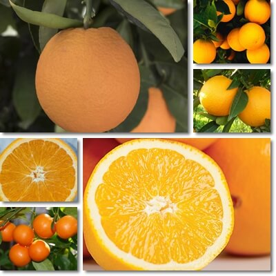 Acidless oranges