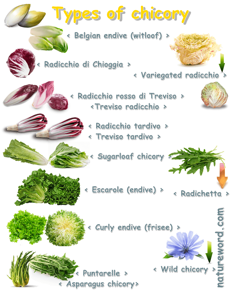 Types of chicory