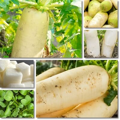 Daikon radish recipes