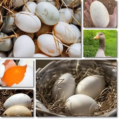 Goose eggs nutrition facts