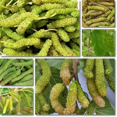 White mulberry long