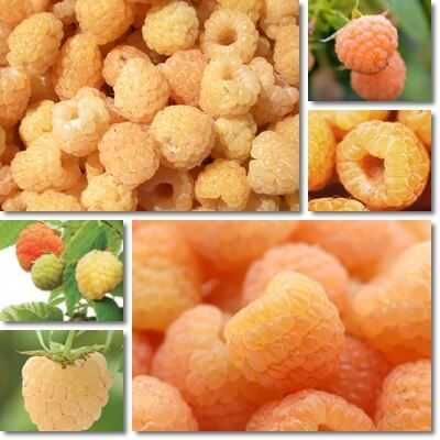Where do golden raspberries come from